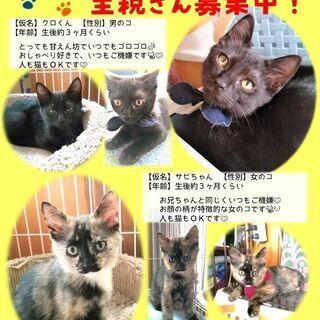 里親さん募集 仔猫 クロ猫君とサビ猫ちゃん 兄妹!
