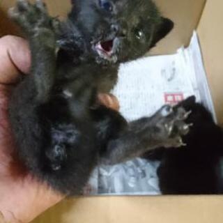 ノラ子猫 黒 生まれたて4匹→全員貰われ先が決まりました!有り難...