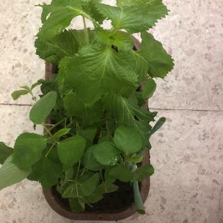 香味野菜の寄せ植え 紫蘇、バジル、モロヘイヤ、鷹の爪、小ネギ