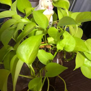 ポトス10cm根付きカット観葉植物