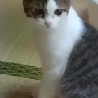 キジシロ子猫 2ヶ月位