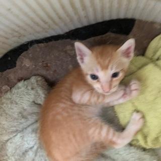 『里親募集』7月18日生まれの子猫たち