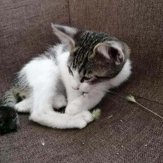 キジトラの♂の子猫ちゃんです。
