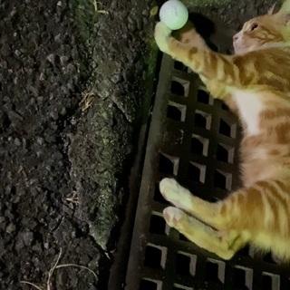里親募集 ネコ 茶色 約生後半年 - 猫