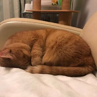 推定5歳半過ぎ位 大人しいメス猫ちゃん - 久留米市