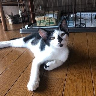 霊感猫なハチワレ君が優しい飼い主さんを待っています! - 上尾市