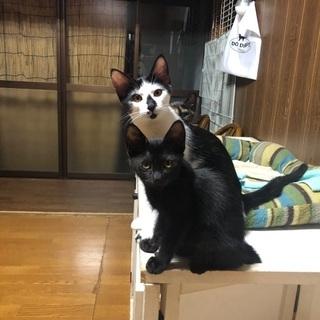 霊感猫なハチワレ君が優しい飼い主さんを待っています!の画像