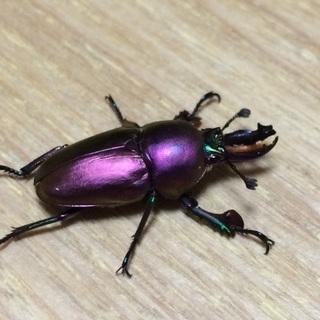 パプアキンイロクワガタパープル系マジョーラ幼虫