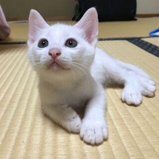 生後56日の茶白、白の元気いっぱいな子猫たち!オス