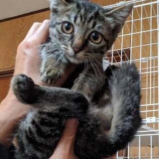 4か月のメスのキジ猫