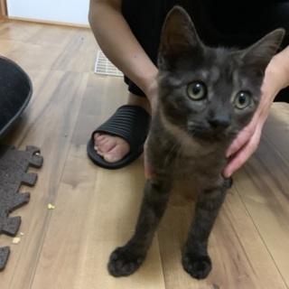 黒シマの雄の子猫