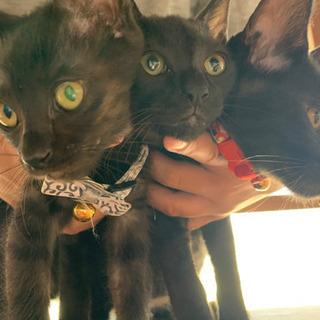 生後2ヶ月黒猫ちゃん 6月1日生まれ 名古屋 里親