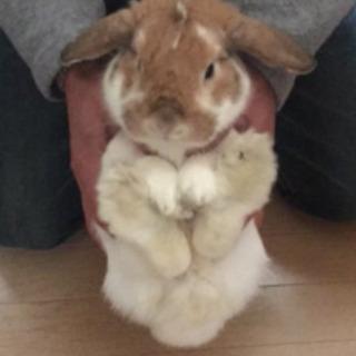 ウサギさん ホーランドロップイヤー