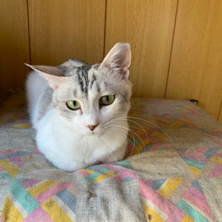 美人パステル三毛猫、優しい性格です。