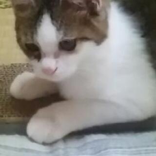 キジシロの子猫 − 山口県