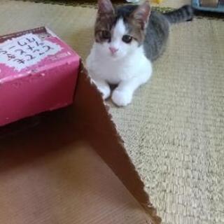 キジシロの子猫 - 猫