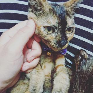 【診察済】甘えん坊の生後約4前後の里親さん募集!!遠方可 - 猫