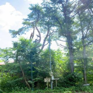 山梨県 山小屋の大きな松の木を登って切ってくれる方