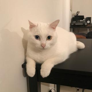 里親募集 オッドアイの寂しがり屋 - 猫