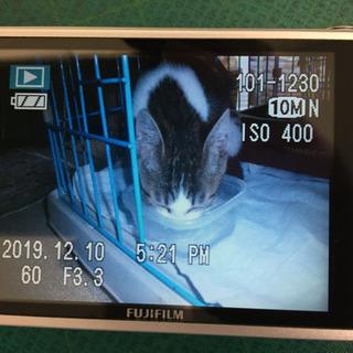 白とグレーのトラ模様 生後3ケ月 再投稿です − 茨城県