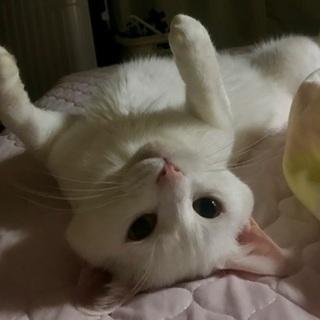 ビビリで甘えん坊の白ネコ♂5才男の子