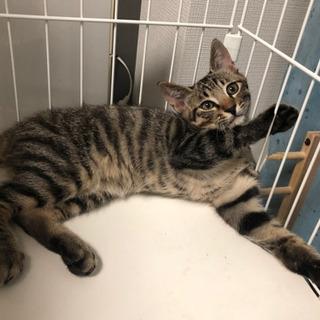 一時募集停止(オス)3ヶ月野良子猫レオン - 札幌市