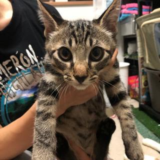 一時募集停止(オス)3ヶ月野良子猫レオン