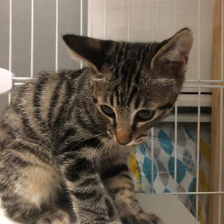 一時募集停止(オス)3ヶ月野良子猫レオン − 北海道
