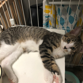 ご家族決定しました!(メス)3ヶ月野良子猫 メィ - 札幌市