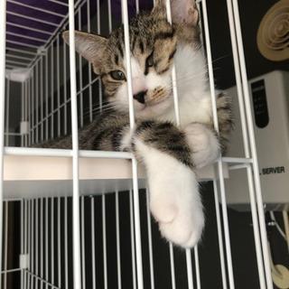 ご家族決定しました!(メス)3ヶ月野良子猫 メィ - 里親募集