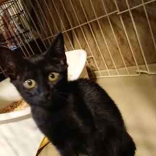 【希望者さまとのお話中】黒猫(女の子)2ヶ月