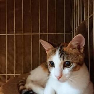 【希望者さまとのお話中】三毛猫(女の子)3ヶ月 - 福岡市