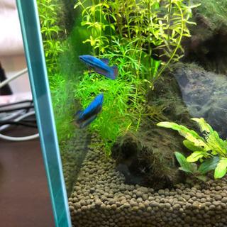 ベタ、幼魚、稚魚、熱帯魚