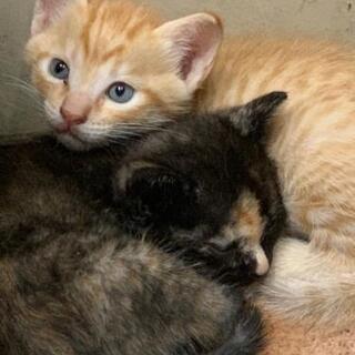 子猫譲渡 かわいい仔猫の家族になってください。