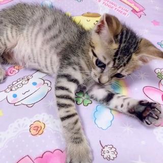 生後1ヶ月♡キジトラ♂ − 鳥取県