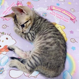 生後1ヶ月♡キジトラ♂ - 猫