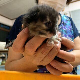 生後1か月のさび猫1匹・黒猫3匹まもなく離乳食の画像