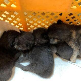 生後1か月のさび猫1匹・黒猫3匹まもなく離乳食 - 横浜市