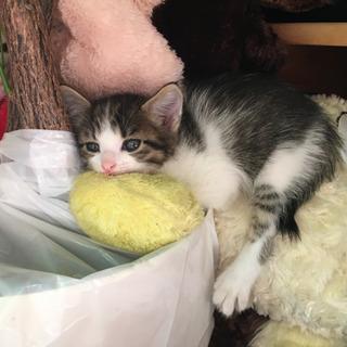 【商談中】生後1ヶ月半 メス猫 里親募集 - 猫