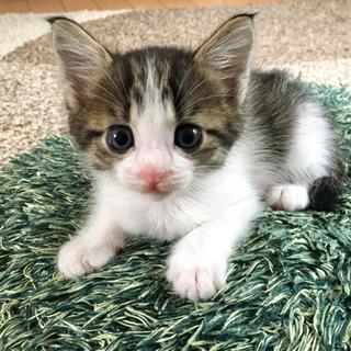 【商談中】生後1ヶ月半 メス猫 里親募集の画像