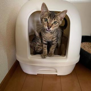 キジ猫オス、4ヵ月ベタ慣れ、お風呂好きです。