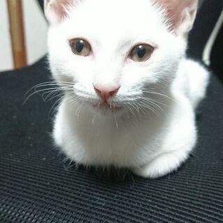 3ヶ月程の真っ白子猫    ※現在トライアル中