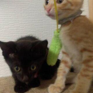 生後約1ヵ月半 茶トラ(オス)と黒(メス)  - 猫
