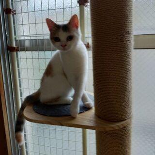 スコティッシュ子猫(♀×♂) - 北九州市