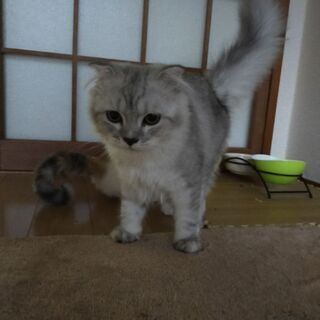スコティッシュ子猫(♀×♂) - 猫