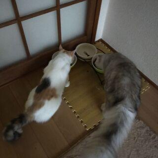 スコティッシュ子猫(♀×♂) − 福岡県