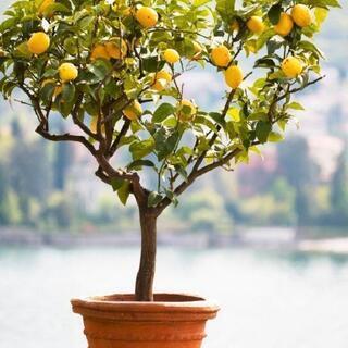 大きめのレモンの木を譲って下さい。3000円~10000円…
