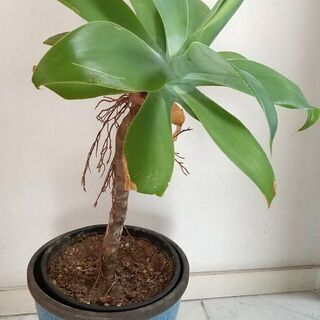 観葉植物アガベ