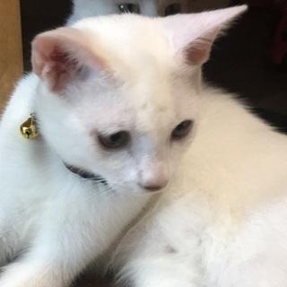 生後10カ月の白猫男の子