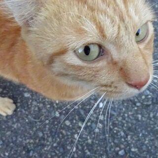 ※里親さん決定しました※のんびりしていて賢い小柄な茶トラの成猫